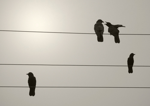 Four black birds on three telephone wires.